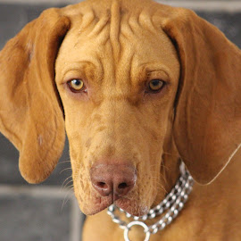 Roxy - Hungarian Vizsla by Louisa Botha - Animals - Dogs Puppies ( adorable dog, pet, vizsla, puppy, dog, portrait,  )