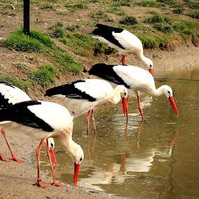 Drinking storks by Bob Has - Animals Birds ( water, sand, stork, drinking )