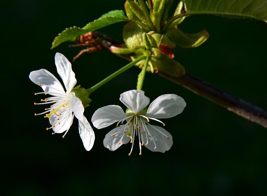 by Eugenija Seinauskiene - Flowers Tree Blossoms