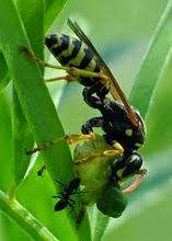Photo: Bonjour,  24° à 4 h - nuageux et ondées.  Une guêpe et une fourmi dévore une chenille sous l'ombelle d'un fenouil.