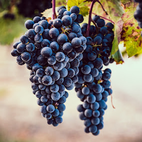 Early Stage Malbec Wine. by Earl Heister - Nature Up Close Gardens & Produce ( wine, grapes, produce., wine grapes,  )