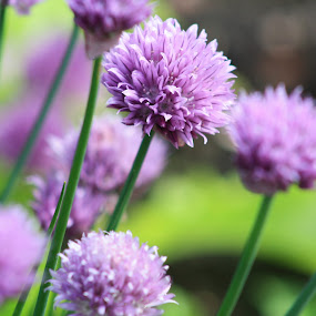 Wild Garlic Chives by Scott Hislop - Novices Only Flowers & Plants ( food, glasgow, chives, botanical, flowers )