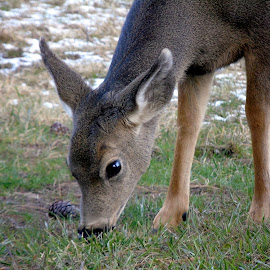 LITTLE ONE by Cynthia Dodd - Novices Only Wildlife ( nature, wildlife, baby, animal, deer )