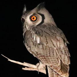 White -faced Owl 2 by Anthony Goldman - Animals Birds ( predator, owl, nature, bird, night, white-faced, londolozi, wild, wildlife,  )