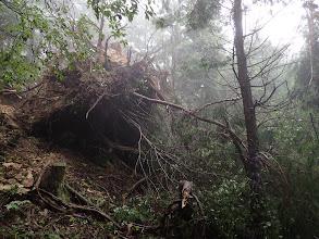 大木が倒れて