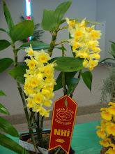 Photo: Dendrobium densiflorum - Thủy Tiên Mỡ Gà