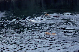 Photo: Everybody in the water My little corgi couldn't help but join in the fun with the big boys.  #365project curated by +Susan Porter and +Simon Kitcher