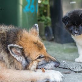 Krek and Maya by Suzana Svečnjak - Animals - Dogs Playing ( senior, pets, german shepherd, puppy, american akita, dogs )