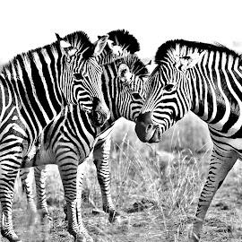 by Jeff Abel - Black & White Animals
