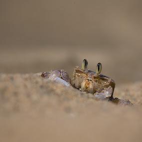 eyes by Dawie Nolte - Animals Other ( sand, crabeyes, seashore, beach, crab, eye,  )
