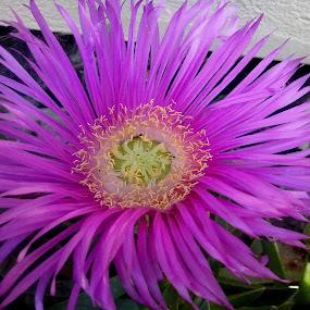 by Corali Reciful - Flowers Single Flower (  )
