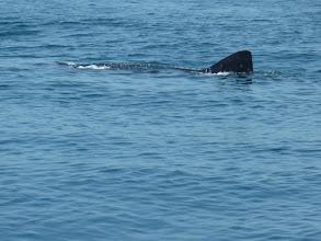 Photo: The Whale Shark
