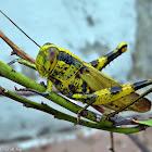Javanese Bird Grasshopper