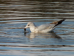 Photo: Ring-billed Gull retrieving something from the water