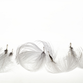 Curly Feathers by Martha van der Westhuizen - Artistic Objects Other Objects ( luminescence, white, curly, closeup, light, feathers, whiteonwhite, fragile, soft )