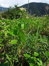 Photo: 蕎麥的莖幹是漸層的褐紅色