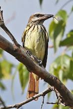 Photo: Sulphur-bellied Flycatcher