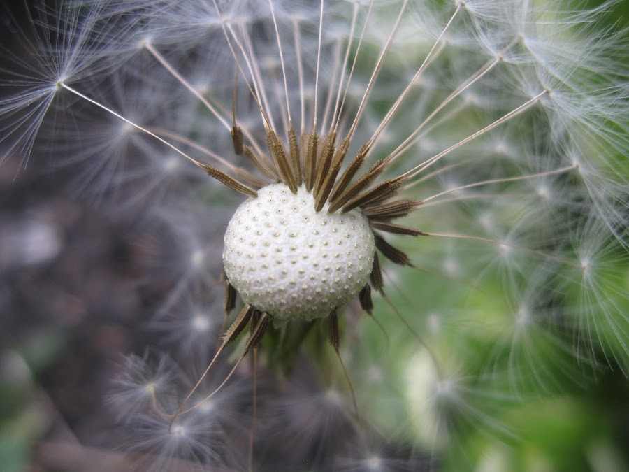 End of Summer by Janet Herman - Nature Up Close Other plants ( plant, seed head, dandelion, fall, nature up close, summer, seeds )