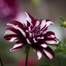 Powerful Red by Janet Marsh - Flowers Single Flower ( dahlias, red and white )