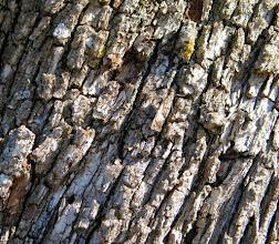 Photo: MIMETISME Le papillon Sylvandre (Hipparchia fagi) en position de mimétisme sur le tronc d'un arbre, tactique qu'il emploie souvent. contre tonalité de Abbott H.Thayer.