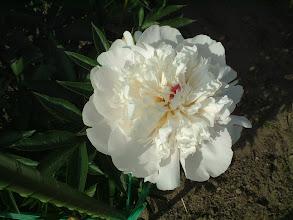 Photo: 満月 発育旺盛で多花性草丈高く切り花用