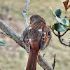 Red fox sparrow