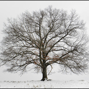 A Winter Tree by Patti Westberry - Nature Up Close Trees & Bushes ( tree, oak tree,  )