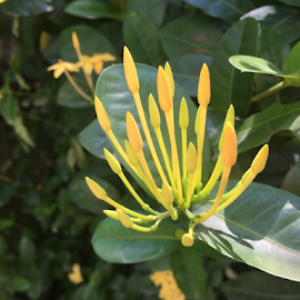 Yellow Rangan  by Som Nath - Nature Up Close Gardens & Produce