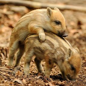 by Gregor Dinghauser- Dingo - Animals Other Mammals