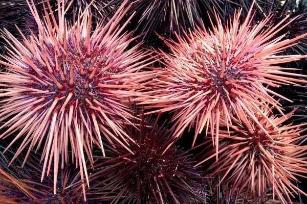 beautiful sea urchins which some cruel people eat alive