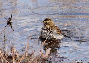 Photo: Bathing savannah sparrow
