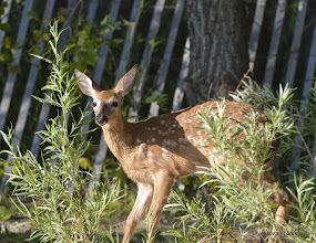 Photo: Baby deer on the beach at Alburg Dunes State Park
