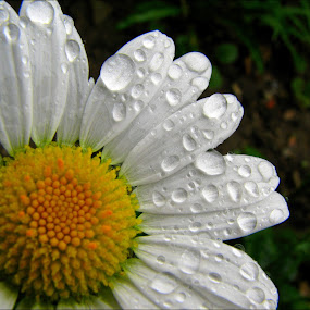 weeping daisy by Adriana Petcu - Nature Up Close Flowers - 2011-2013 ( macro, nature, white, drops, daisy, flower )