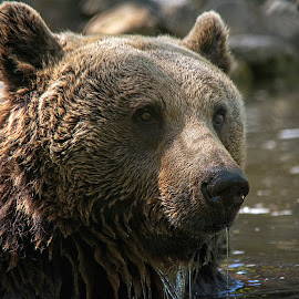 Brown Bear cooling off by Fiona Etkin - Animals Other Mammals ( mammal, nature, animal, brown bear, cooling off, water )