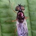 Male Sargus bipunctatus ?