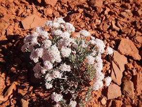Photo: Little puffball flowers