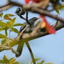 Eudynamys scolopaceus 噪鵑 female