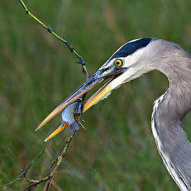 Hungry heron by Ruth Overmyer - Animals Birds (  )