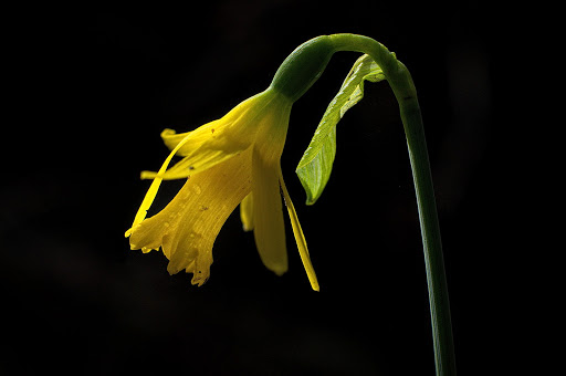 Narcissus minor asturiensis