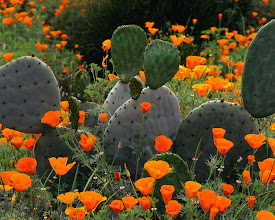 Photo: Poppies and cacti