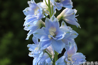 Photo: 拍攝地點: 梅峰-溫帶花卉區 拍攝植物: 大飛燕草 拍攝日期: 2015_10_05_FY
