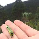 Oruga Machaon Caterpillar