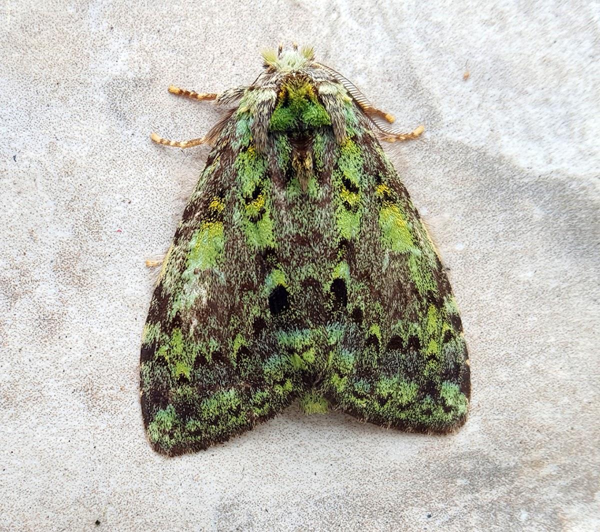 Prominent Moth