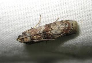 Photo: Phycita roborella    PGE  Lepidoptera > Pyralidae