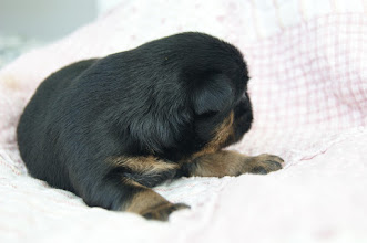 Photo: Black and tan boy - 12 days old