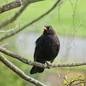 Eurasian Blackbird (male)