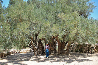 Photo: A picture of what is reportedly the oldest olive tree in all of historic Palestine, found in the small West Bank village of Al Walaja, near Bethlehem. Standing underneath the tree, which is believed to be 5,000 years old, is the owner of the land. Israel is currently threatening to annex Al Walaja, evict its Palestinian inhabitants from their homes, and uproot many of the trees therein.