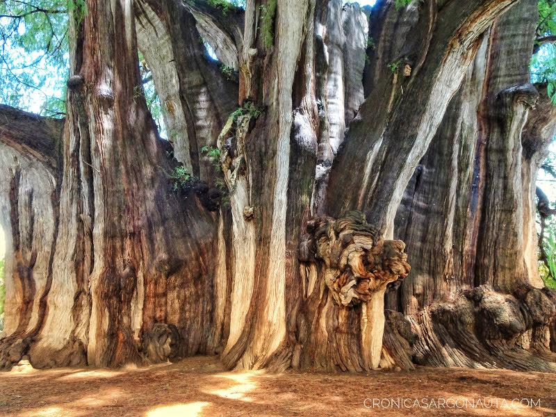 árbol de tule en Oaxaca