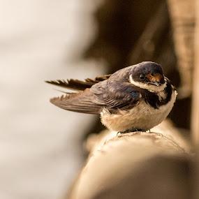 Hide  & Seek by Malan Lombard - Animals Birds ( wood, warmth, swallow, bridge )