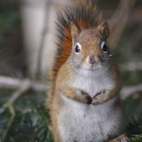 squirrel by Char Robertson - Animals Other ( winter, red, little hands, ontario, brown, cute, posing, squirrel )